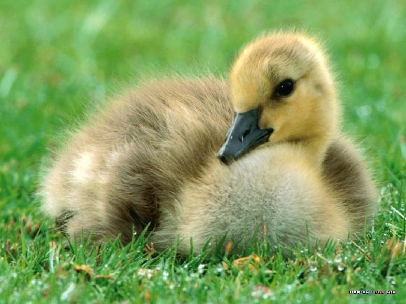 可爱的小鸡小鸭壁纸